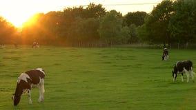 Manada de las vacas frisias que pastan, comiendo la hierba en un campo en una granja en la puesta del sol o la salida del sol metrajes