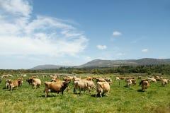 Manada de las vacas lecheras de Jersey del rango libre en una granja Foto de archivo