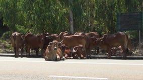 Manada de las vacas marrones que mienten en el camino almacen de video