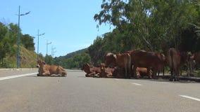 Manada de las vacas marrones que mienten en el camino metrajes