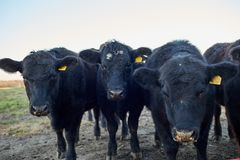 Manada de las vacas negras que miran fijamente curiosamente la cámara Fotografía de archivo libre de regalías