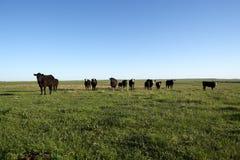 Manada de las vacas negras que pastan en un pasto herboso Fotografía de archivo libre de regalías