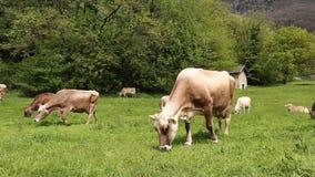 Manada de las vacas que pastan en el prado verde metrajes