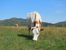 Manada de las vacas que pastan en un pasto en la montaña Altai imágenes de archivo libres de regalías