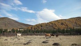 Manada de las vacas que pastan en un prado contra un fondo de montañas almacen de video