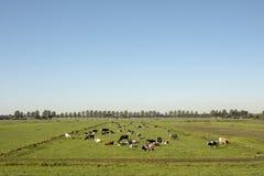 Manada de las vacas que se acuestan en un prado en paisaje holandés plano foto de archivo