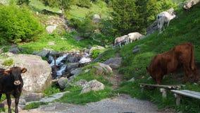 Manada de las vacas salvajes que pastan en los prados alpinos Montañas italianas Italia almacen de metraje de vídeo