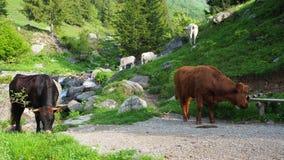 Manada de las vacas salvajes que pastan en los prados alpinos Montañas italianas Italia almacen de video