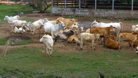 Manada de las vacas tailandesas que pastan en un pasto sucio en Asia Abra el campo de granja de la vaca tailandia almacen de video