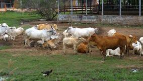 Manada de las vacas tailandesas que pastan en un pasto sucio en Asia Abra el campo de granja de la vaca tailandia almacen de metraje de vídeo