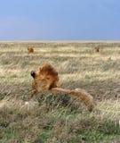 Manada de leones Imágenes de archivo libres de regalías