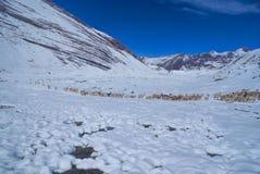 Manada de llamas en los Andes Imagen de archivo