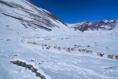 Manada de llamas en los Andes Imagen de archivo libre de regalías