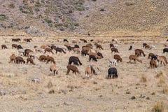 Manada de llamas y de alpacas en las montañas de los Andes, Perú Fotografía de archivo libre de regalías