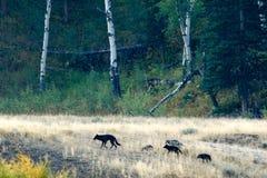 Manada de lobos en Yellowstone Fotos de archivo libres de regalías