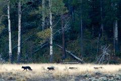 Manada de lobos en Yellowstone Foto de archivo