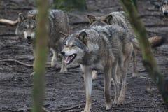 Manada de lobos europea Imagenes de archivo