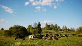 Manada de los animales domésticos de la granja que pastan en campo verde almacen de video