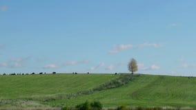 Manada de los animales domésticos de la granja que pastan en fondo solo del árbol metrajes