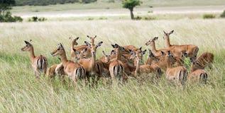 Manada de los antílopes negro-hechos frente del impala (melampus del Aepyceros) Fotos de archivo libres de regalías