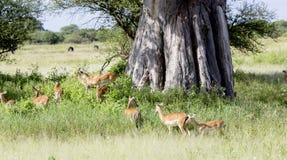 Manada de los antílopes negro-hechos frente del impala y de x28; Melampus& x29 del Aepyceros; Fotos de archivo