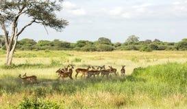 Manada de los antílopes negro-hechos frente del impala y de x28; Melampus& x29 del Aepyceros; Foto de archivo libre de regalías