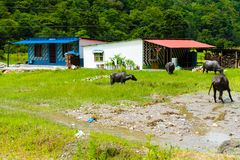 Manada de los búfalos de agua en el pueblo rural, área de la protección de Annapurna, Nepal fotografía de archivo libre de regalías