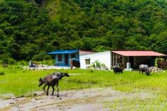 Manada de los búfalos de agua en el pueblo rural, área de la protección de Annapurna, Nepal foto de archivo libre de regalías