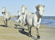 Manada de los caballos blancos de Camargue que corren en la playa Foto de archivo
