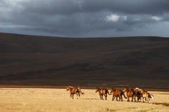 Manada de los caballos corrientes en el campo Imagen de archivo