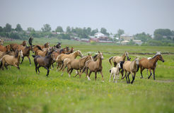 Manada de los caballos de Akhal-teke Imagenes de archivo