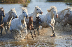 Manada de los caballos de Camargue en la reserva Imagenes de archivo