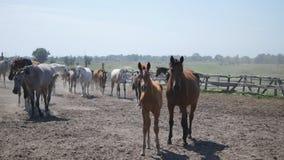 Manada de los caballos que caminan en el prado Grupo de caballos en el prado almacen de video