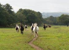Manada de los caballos que corren a través de un campo Fotografía de archivo