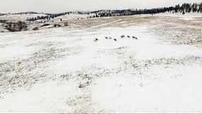 Manada de los caballos que funcionan con animales salvajes del Equestrian de los sementales de la nieve del invierno almacen de metraje de vídeo