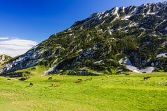 Manada de los caballos que pastan en campo de hierba verde cerca de tierra de la montaña Foto de archivo