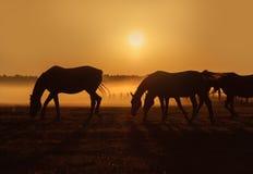 Manada de los caballos que pastan en un campo en un fondo de la niebla y de la salida del sol foto de archivo