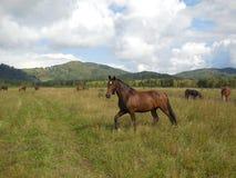 Manada de los caballos que pastan en un pasto en la montaña Altai fotos de archivo
