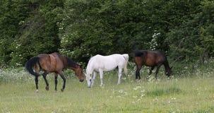Manada de los caballos que pastan en un prado de la primavera