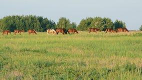 Manada de los caballos que pastan en un prado verde en la puesta del sol almacen de metraje de vídeo