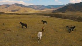Manada de los caballos salvajes que corre en prado almacen de video