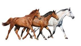 Manada de los caballos salvajes que corren libremente en el fondo blanco Foto de archivo