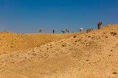 Manada de los camellos Dromedarys en el negev Israel del desierto imagenes de archivo