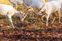 Manada de los ciervos en barbecho blancos en naturaleza en la puesta del sol Fotografía de archivo libre de regalías