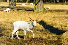 Manada de los ciervos en barbecho blancos en naturaleza en la puesta del sol Imágenes de archivo libres de regalías