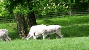 Manada de los ciervos en barbecho blancos en naturaleza Ciervos en barbecho del albino raro almacen de video