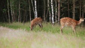 Manada de los ciervos manchados salvajes que pastan almacen de metraje de vídeo