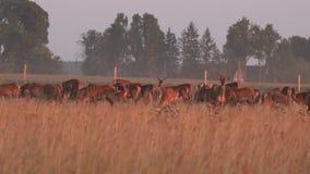 Manada de los ciervos masculinos y femeninos de los dólares crecidos en cautiverio en pasto Panorama 4K almacen de metraje de vídeo