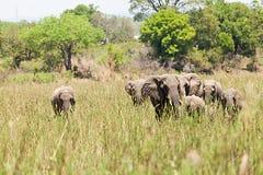Manada de los elefantes Imagen de archivo libre de regalías