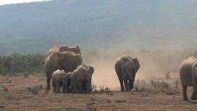 Manada de los elefantes africanos que caminan en la sabana almacen de video